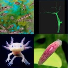 Regeneration model organisms