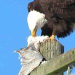 Eagle preying on seagull