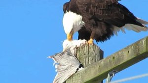 Eagle preying on seagull