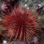 The red sea urchin is one of the world's longest-lived organisms