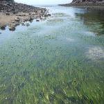 Eeel grass at Ship Harbor, Mount Desert Island, Maine