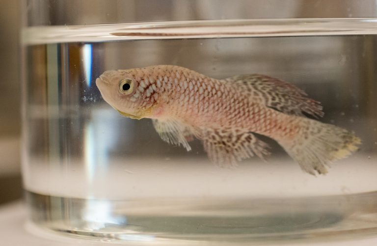 MDI Biological Laboratory Hosts Inaugural African Turquoise Killifish Conference